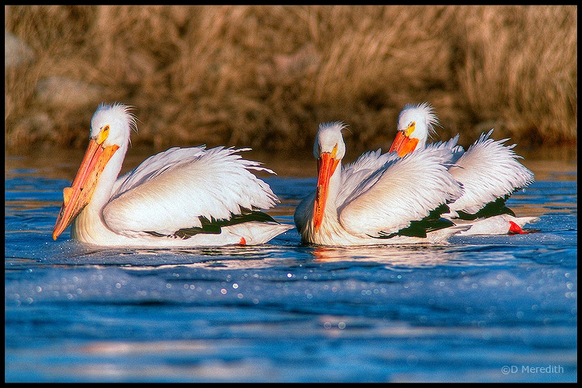 Trio of Pelicans.
