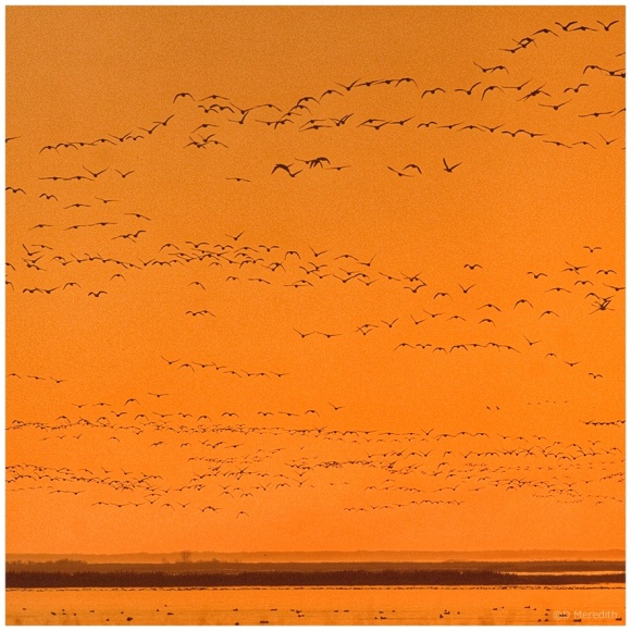 October Squares: Lines of Snow Geese at Sunset