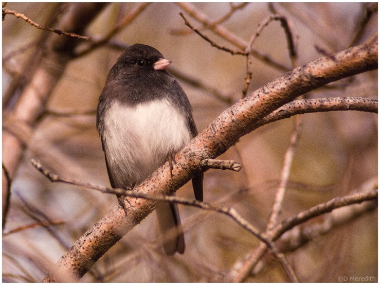 Male Dark-eyed Junco on autumn migration.