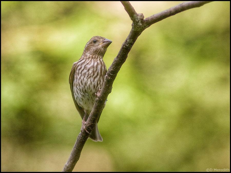 Purple Finch juvenile in late summer.