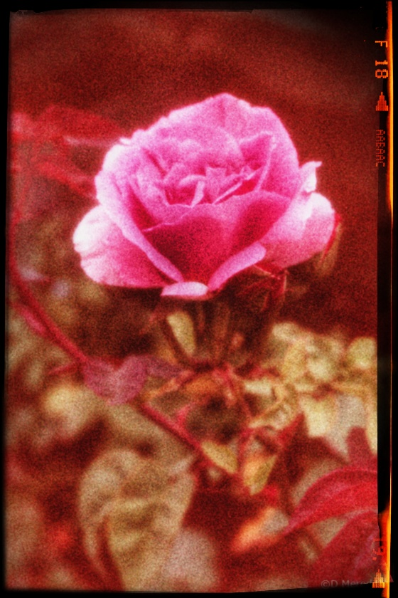 Weekly Prompts Photo Challenge: Magenta Rose.