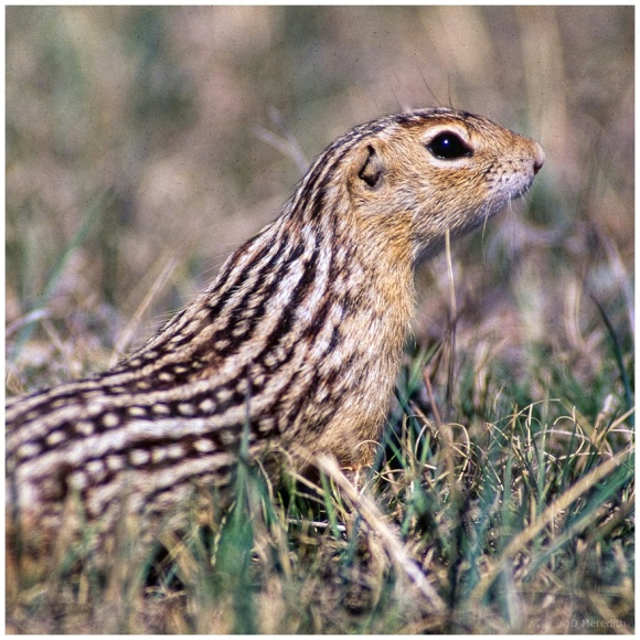 October Squares: Thirteen-lined Ground Squirrel