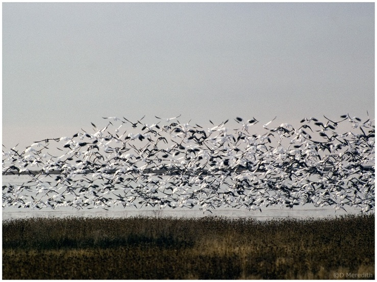 Throwback Thursday: Snow Geese Take Off