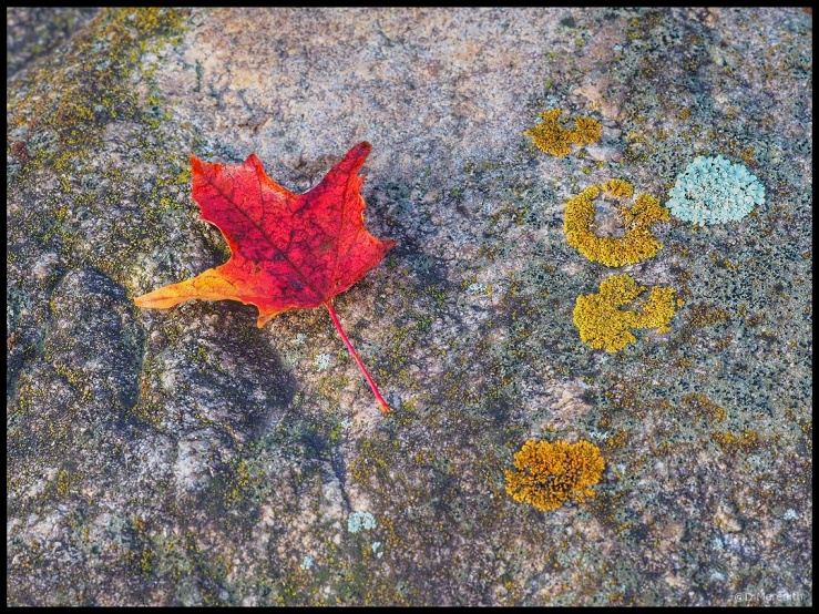 Six Word Saturday: Red Maple Leaf on a Boulder