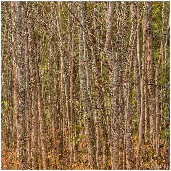 October Squares: Lines of Tree Trunks