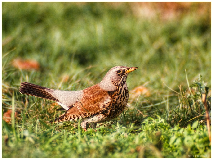 Throwback Thursday: Fieldfare