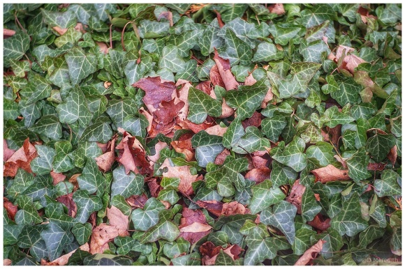 Six Word Saturday: Autumn Leaves amongst the Ivy Leaves