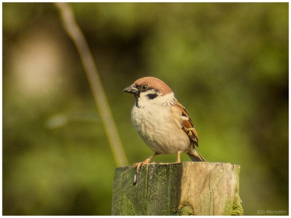 Throwback Thursday: Tree Sparrow