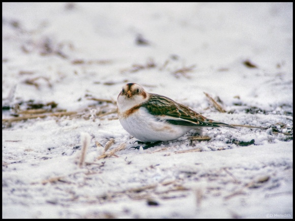 Throwback Thursday: Snow Bunting