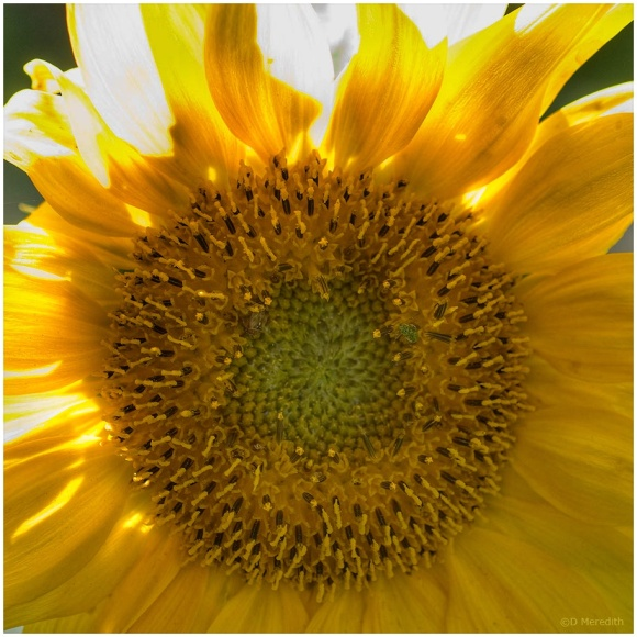 January Squares: Sunflower by Backlight