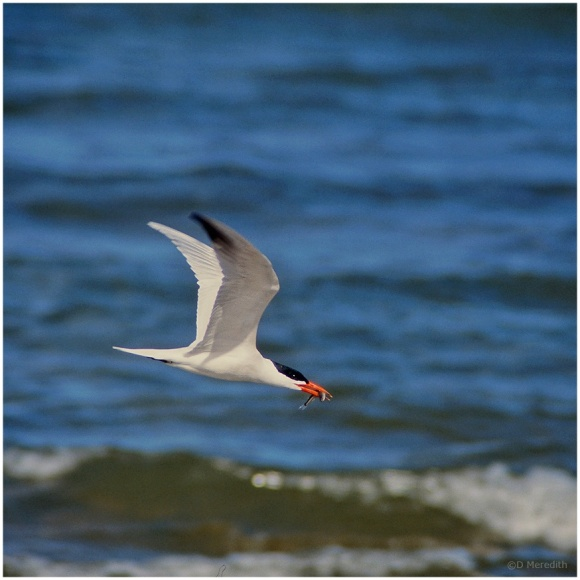January Squares: Caspian Tern in Flight