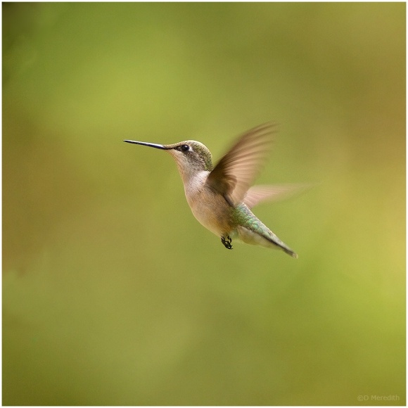 January Squares: Hummingbird in Flight