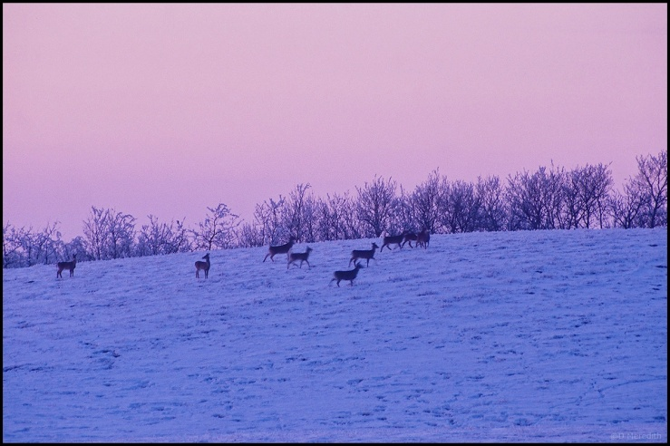 Six Word Saturday: Whitetail Deer at Dusk in Winter