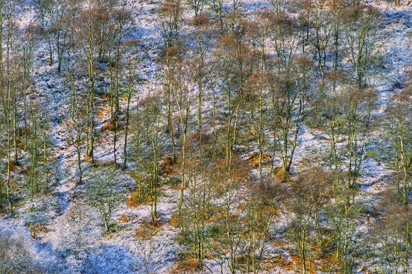 Throwback Thursday: Silver Birch Trees in Snow
