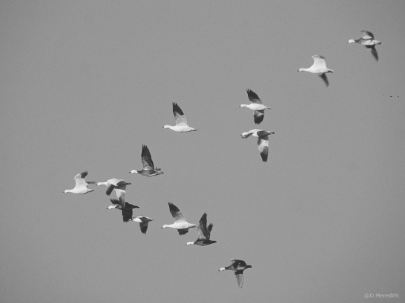 Cee's Black and White Photo Challenge: Birds