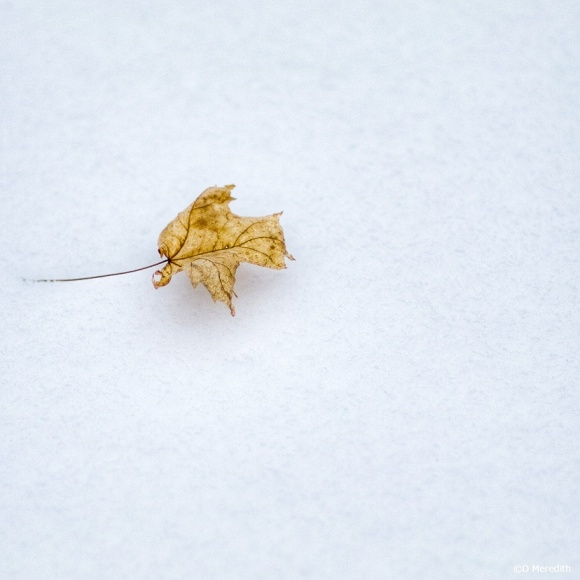 April Squares: A Maple leaf on snow