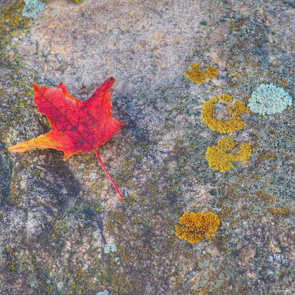 April Squares: Red Maple Leaf on Top of a Boulder