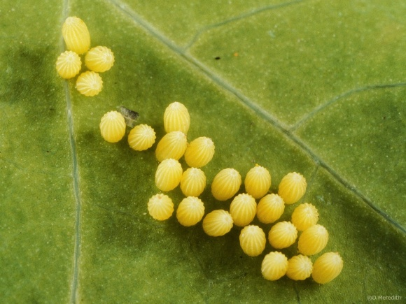 Macro Monday: Large White Butterfly eggs