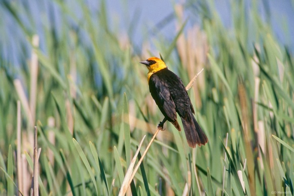 Saturday Bird: Yellow-headed Blackbird