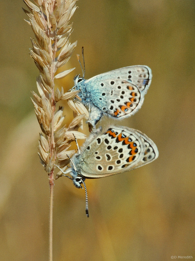 Mating Silver-studded Blue Butterflies