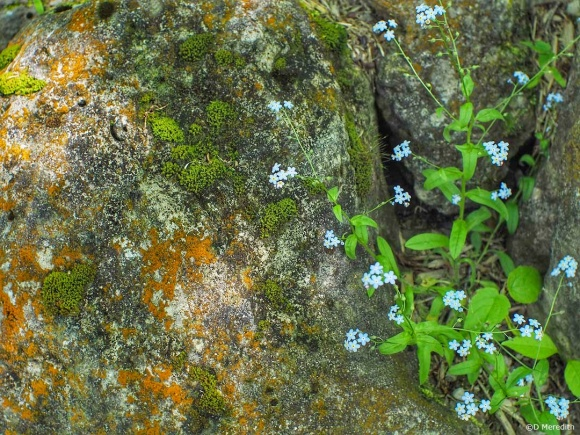 Six Word Saturday: Forget-me-nots, green Moss and orange Lichen