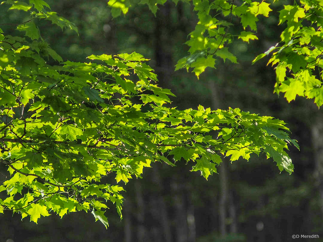 Six Word Saturday: Backlit Maple Leaves in the Spring