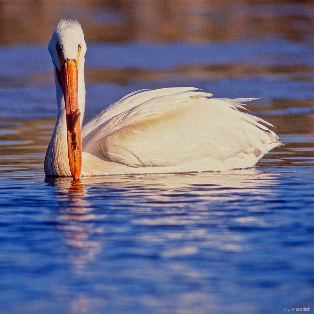 Eye Level with an American White Pelican