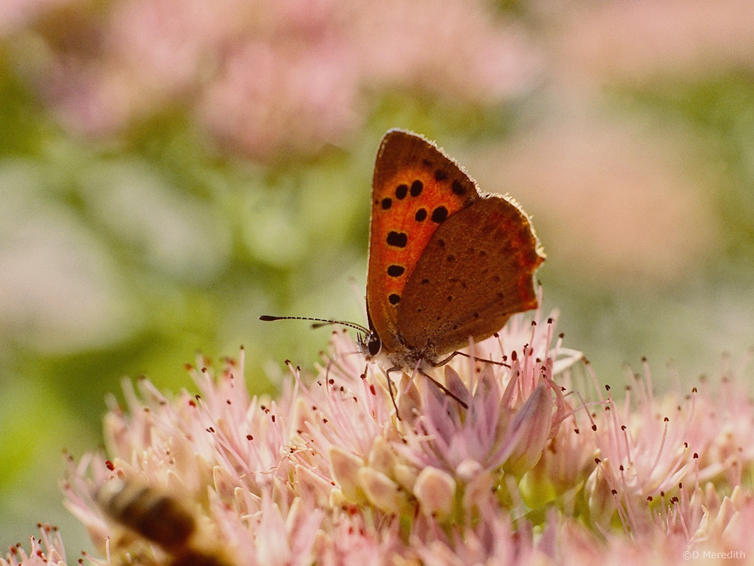 Flora and Fauna Friday: Small Copper Butterfly