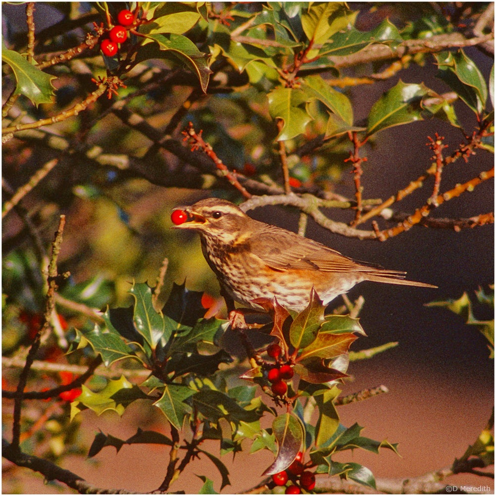 July Squares: Eye Level with a Redwing