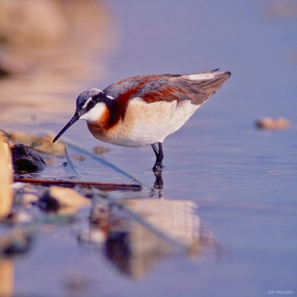 July Squares: Eye Level with a female Wilson's Phalarope