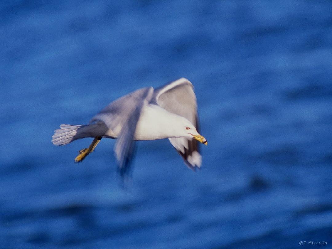 A Saturday Bird: A Ring-billed Gull on Patrol