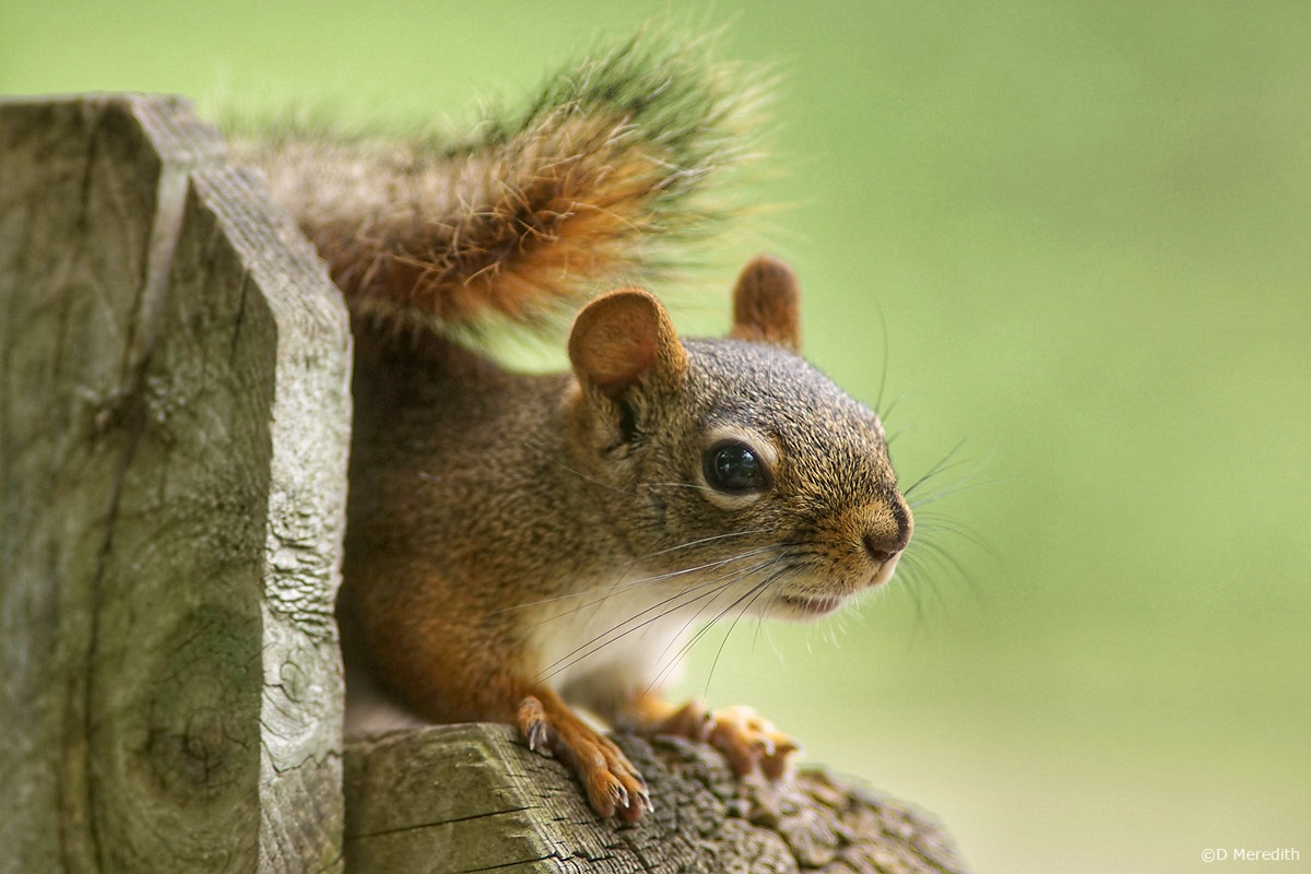 A Photo a Week Challenge: Squirrel!