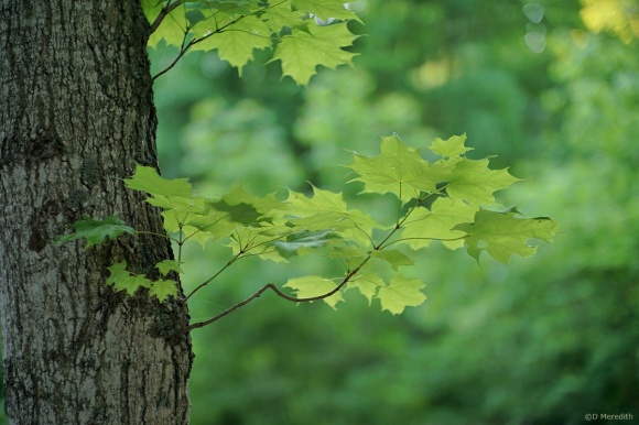 Six Word Saturday: Maple Leaves early in the Morning