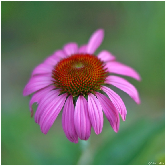 July Squares: Portrait of a Coneflower