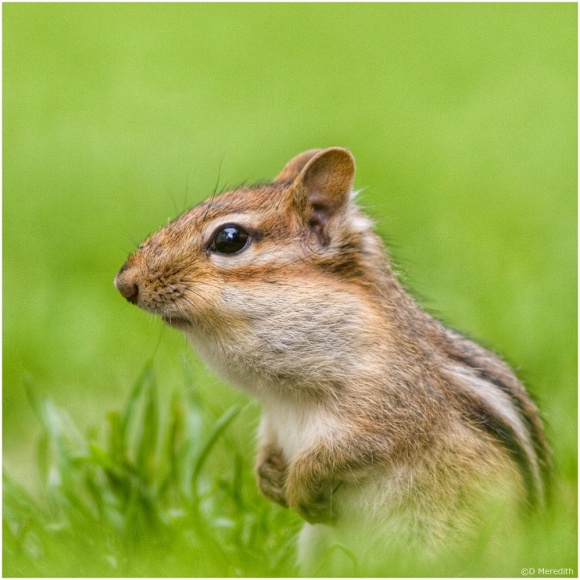 July Squares: Eye Level with an Eastern Chipmunk