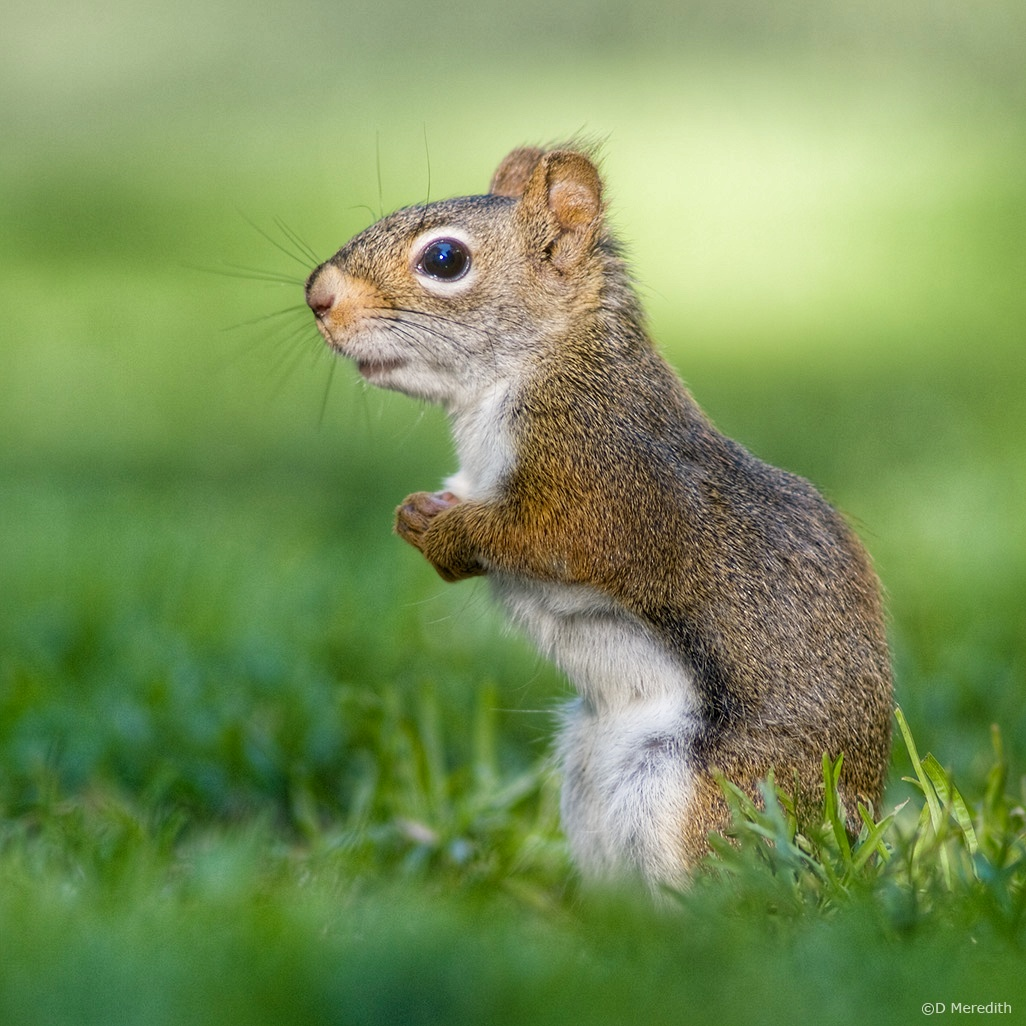 July Squares: Eye Level with an American Red Squirrel