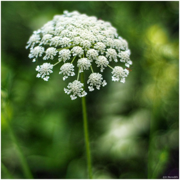 July Squares: Portrait of Queen Anne's Lace