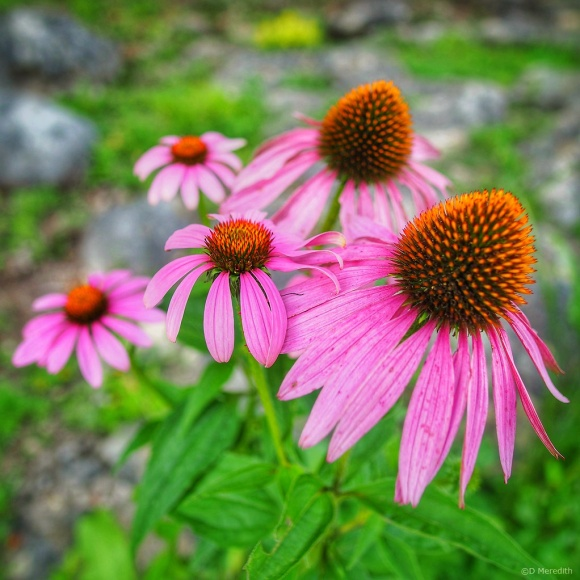 July Squares: Wide Angle Coneflowers