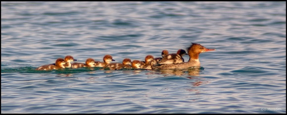 Throwback Thursday: Female Common Merganser with young