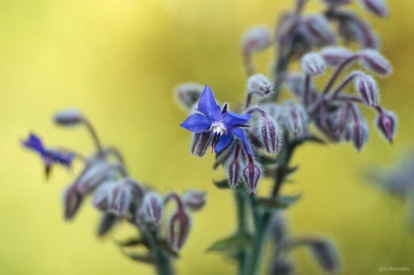 Flora and Fauna Friday: Borage flower and buds