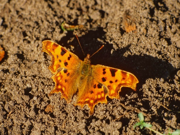 Flora and Fauna Friday: Sunbathing Comma