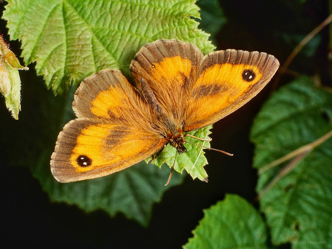 Macro Monday: Gatekeeper Butterfly