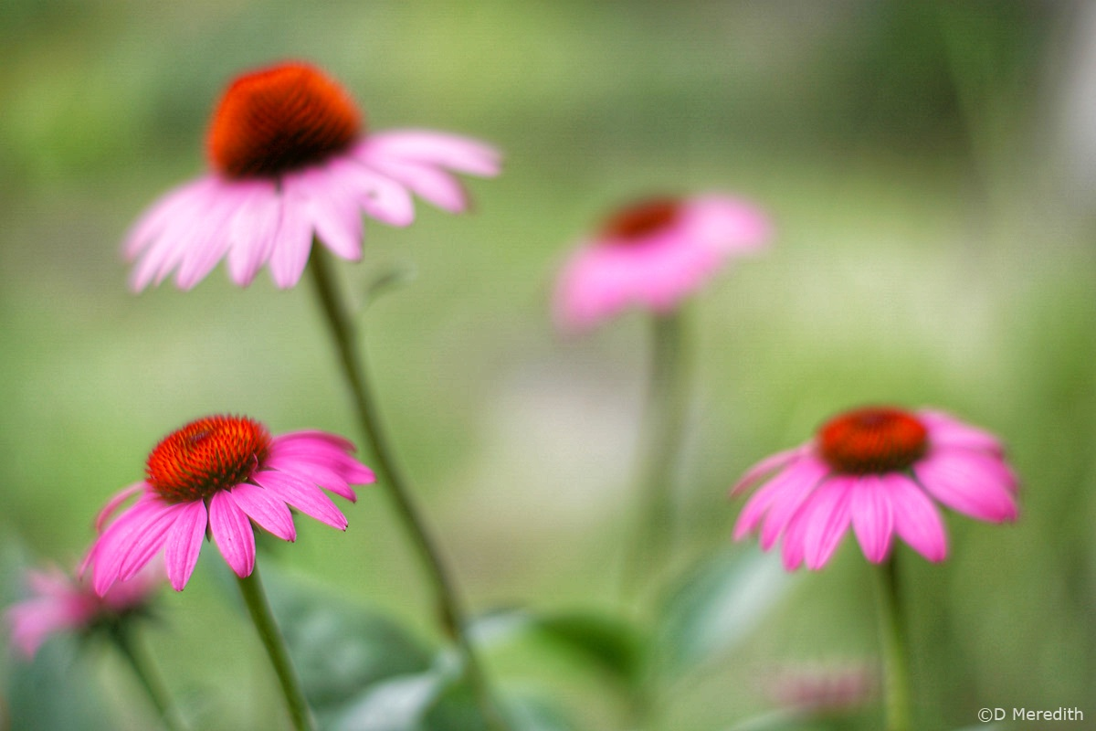 Family portrait of some Coneflowers