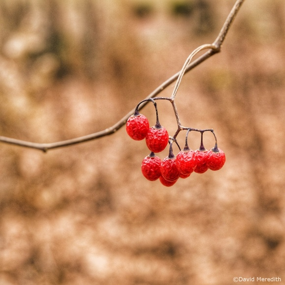 Nine of a Kind: Red Berries