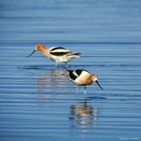 Two of a Kind: American Avocets