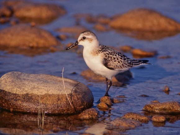 Juvenile Sanderling on autumn migration