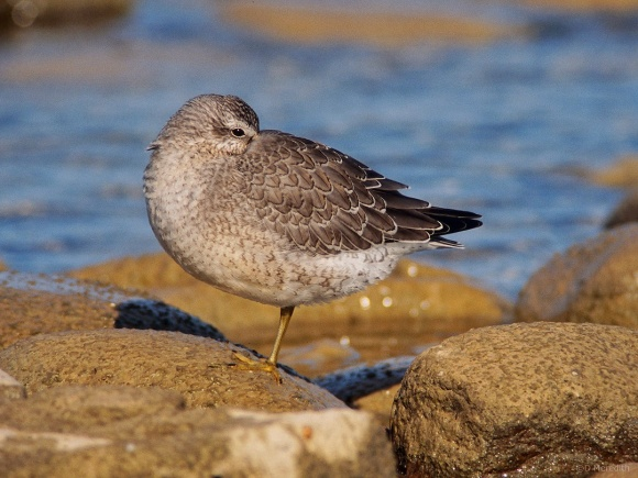 Saturday Bird: Juvenile Red Knot