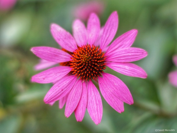 Overhead view of a Coneflower.