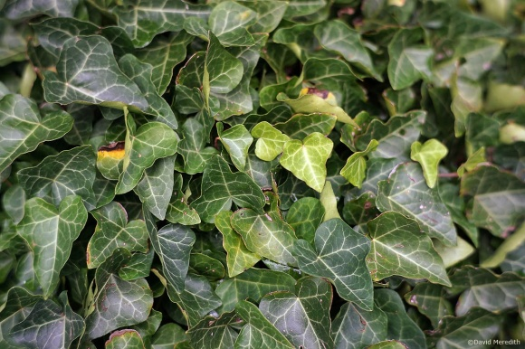 Ivy leaves in nice light.