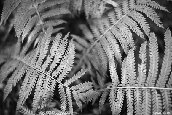 Monochrome Monday: Fern Fronds